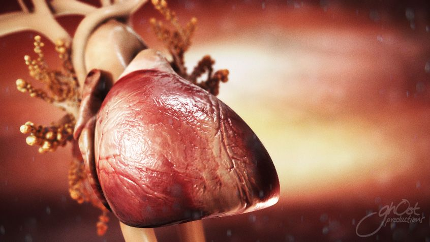 cardiac and human heart anatomy